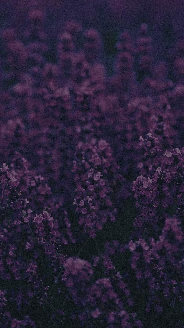 Lavender Ni Wallpaper 720x1280