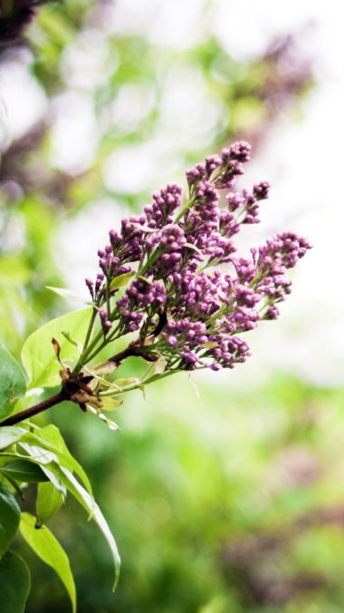 Lilac Branch Spring Flowers 380x676