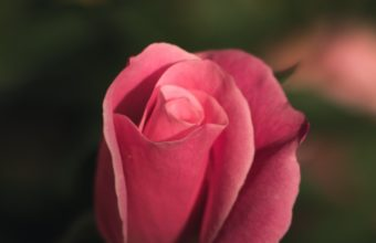 Rose Bud Pink Blur Wallpaper 2160x3840 340x220