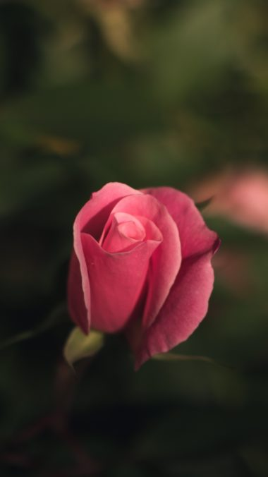 Rose Bud Pink Blur Wallpaper 2160x3840 380x676