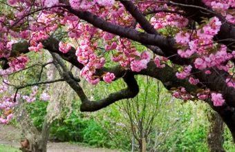 Sakura Ultra HD Wallpaper 1080x2160 340x220