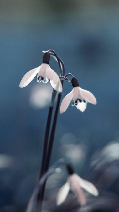 Snowdrop Primrose Flowers Drops 380x676
