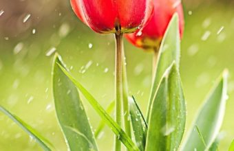 Tulip Rain Hd Wallpaper 720x1280 340x220