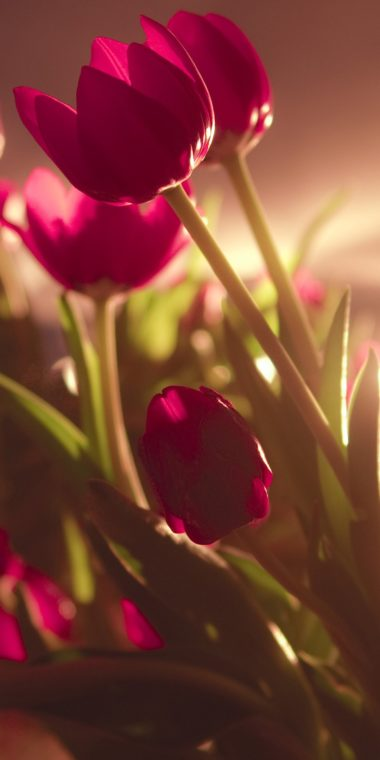 Tulip Ultra HD Wallpaper 1080x2160 380x760