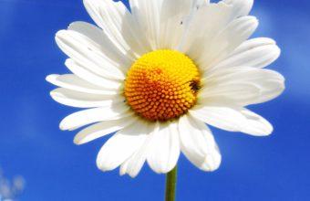 White Diasy Flowers At Summer I3 Wallpaper 2160x3840 340x220