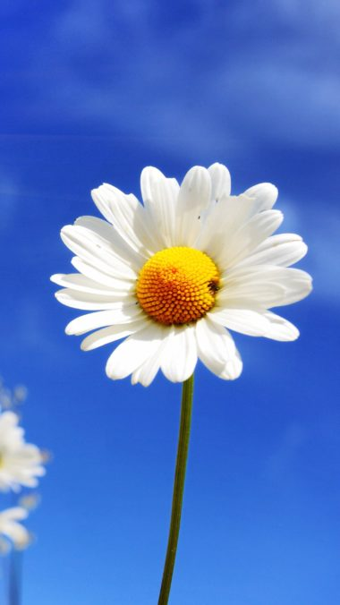 White Diasy Flowers At Summer I3 Wallpaper 2160x3840 380x676