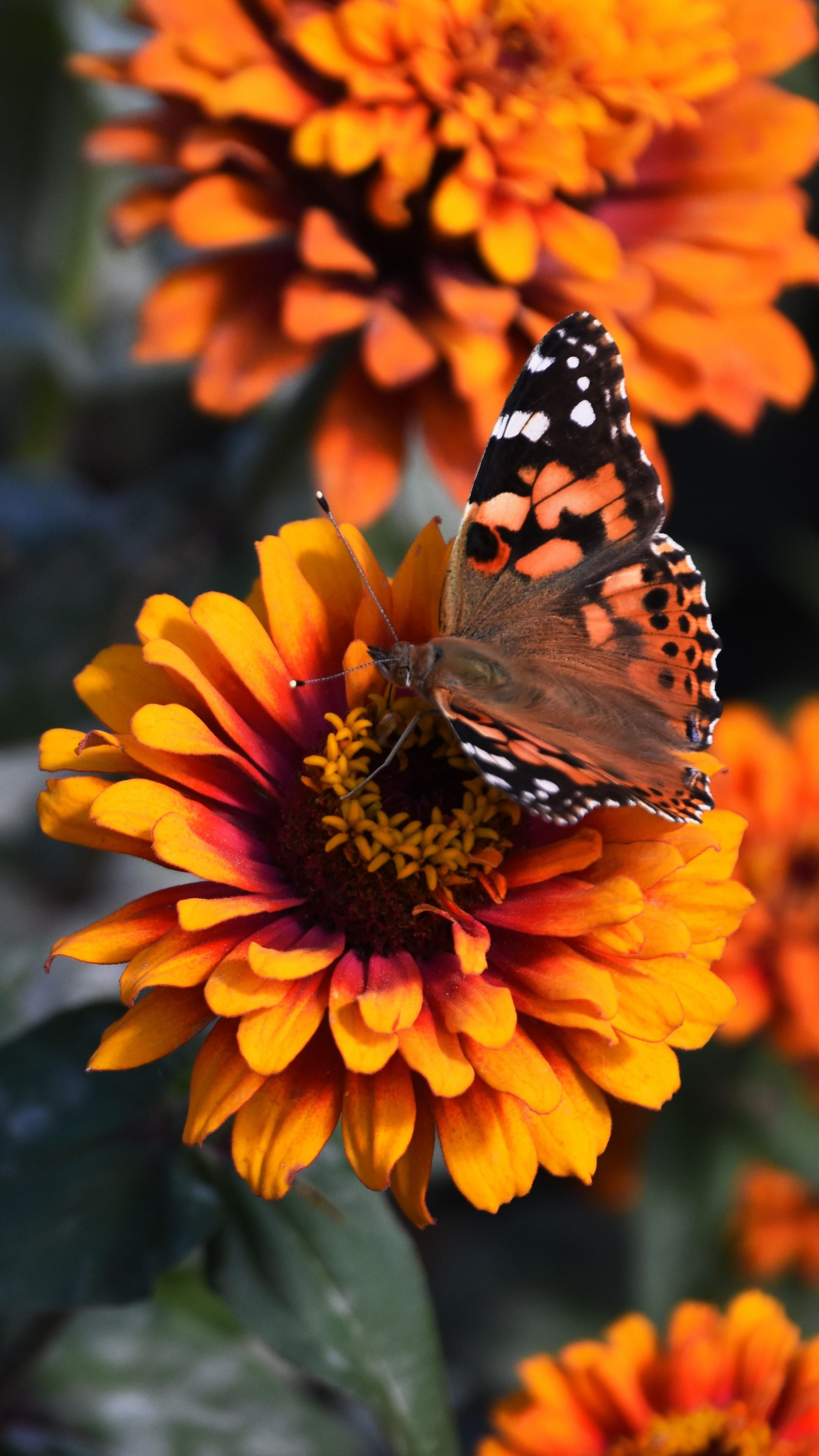 Zinnia Butterfly Flower Wallpaper 2160x3840