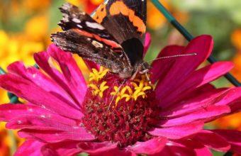 Zinnia Butterfly Flower Wallpaper 720x1280 340x220