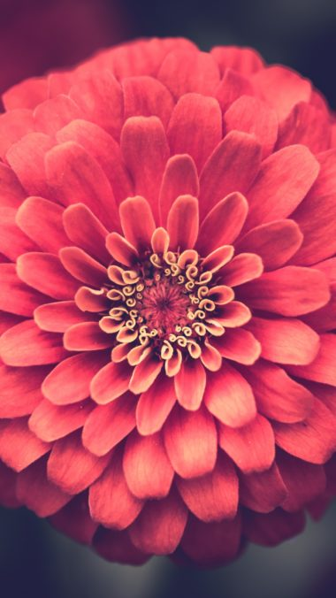 Zinnia Petals Close Up Wallpaper 2160x3840 380x676
