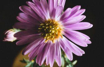 Aster Flower Petals Wallpaper 1440x2560 340x220