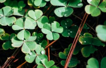 Clover Leaves Branches Wallpaper 1440x2560 340x220