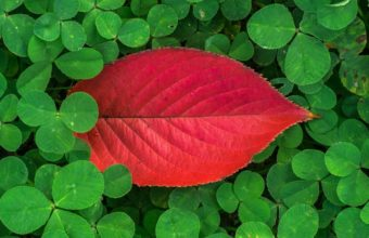 Clover Leaves Plant Green Wallpaper 1440x2560 340x220