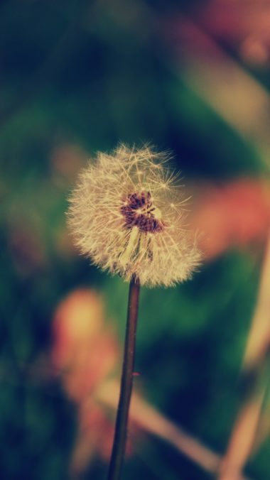 Dandelion Flower Blur Wallpaper 1440x2560 380x676