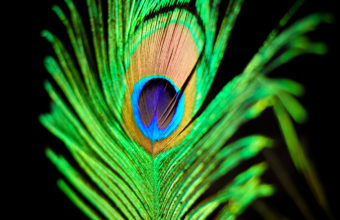 Feathers Wallpaper 05 2560x1600 340x220