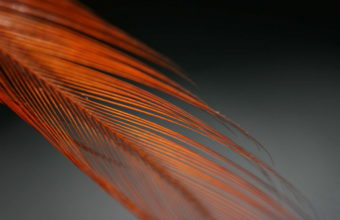 Feathers Wallpaper 08 2560x1600 340x220