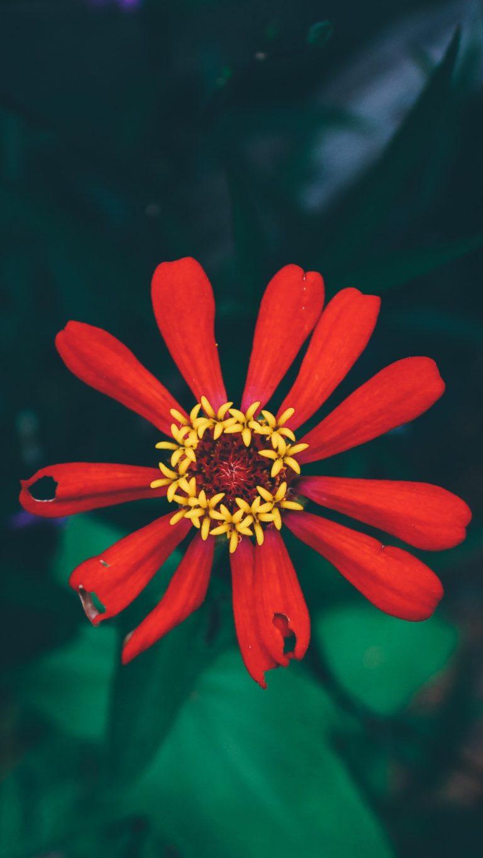 Flower Bud Petals Wallpaper 1440x2560 768x1365