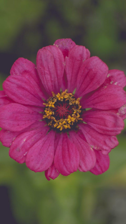 Flower Pink Petals Wallpaper 1440x2560 768x1365