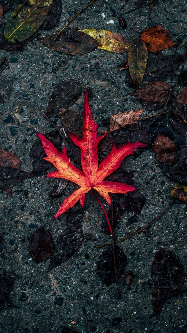 Leaf Fallen Autumn Dry Wallpaper 1440x2560 768x1365