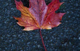 Leaf Maple Autumn Wallpaper 1440x2560 340x220
