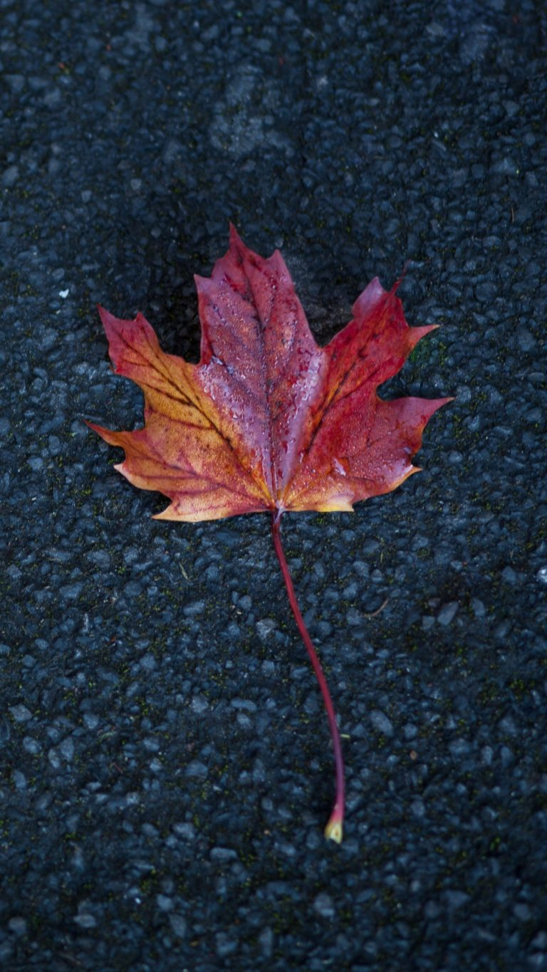 Leaf Maple Autumn Wallpaper 1440x2560 768x1365