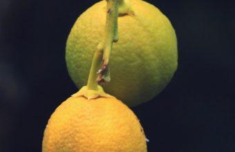 Lemons Citrus Branch Wallpaper 1440x2560 340x220