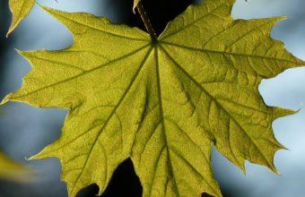 Maple Leaf Blur Wallpaper 1440x2560 340x220
