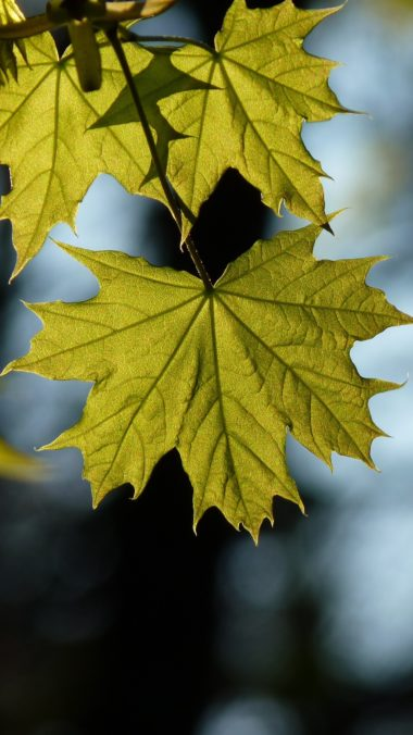 Maple Leaf Blur Wallpaper 1440x2560 380x676