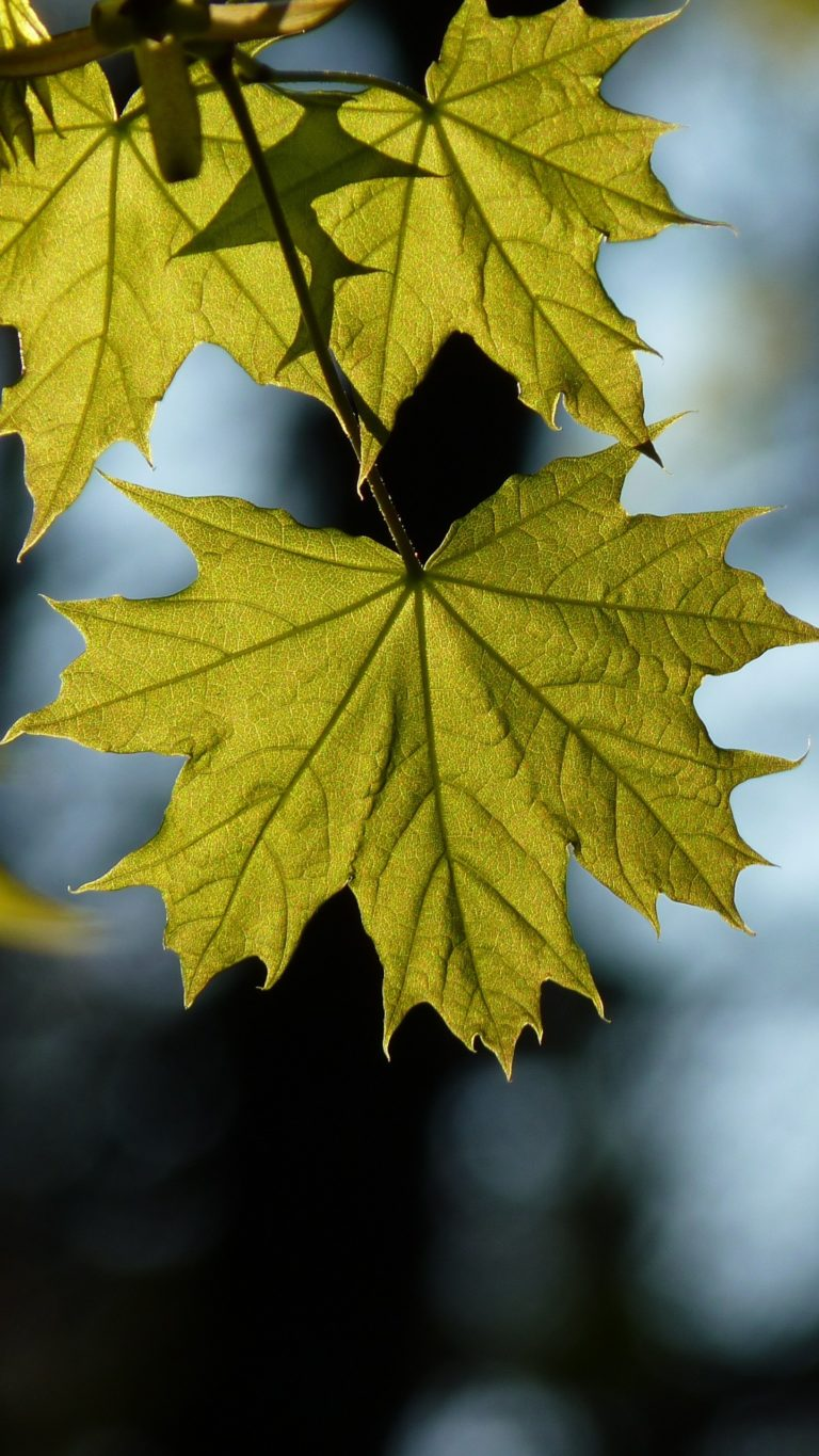 Maple Leaf Blur Wallpaper 1440x2560 768x1365