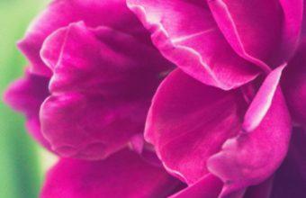 Peony Pink Bud Petals Wallpaper 1440x2560 340x220