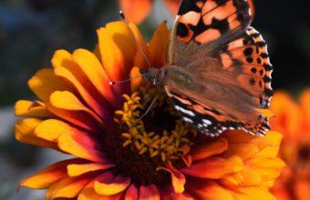 Zinnia Butterfly Flower Wallpaper 1440x2560 340x220