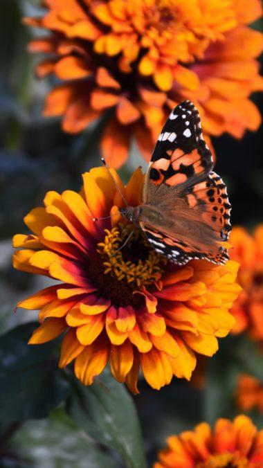 Zinnia Butterfly Flower Wallpaper 1440x2560 380x676