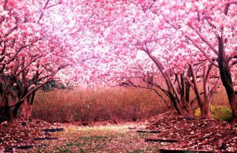 Cherry Blossom Tree Wallpaper 01 1920x1080 340x220