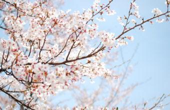 Cherry Blossom Tree Wallpaper 02 1920x1200 340x220