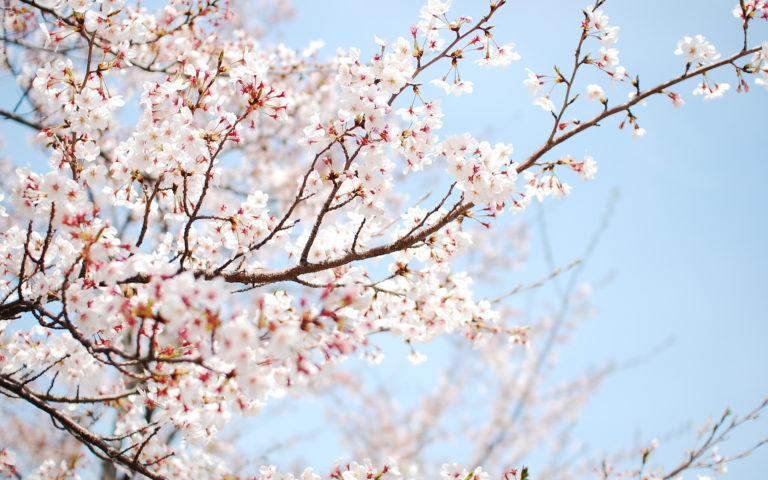 Cherry Blossom Tree Wallpaper 02 1920x1200 768x480
