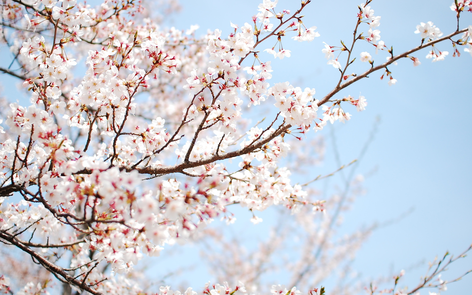 Get Cherry Blossom Tree Background Hd Pics