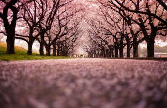 Cherry Blossom Tree Wallpaper 03 1920x1200 340x220
