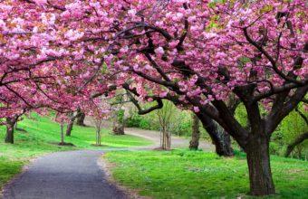 Cherry Blossom Tree Wallpaper 04 3840x2160 340x220