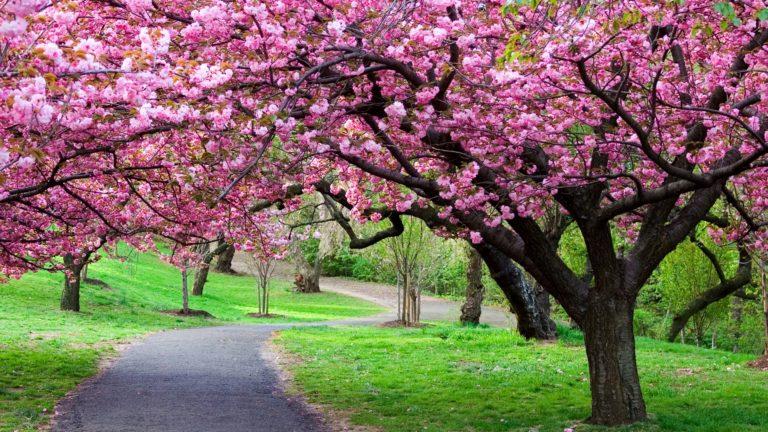 Cherry Blossom Tree Wallpaper 04 3840x2160 768x432
