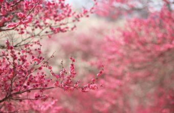 Cherry Blossom Tree Wallpaper 05 2560x1600 340x220