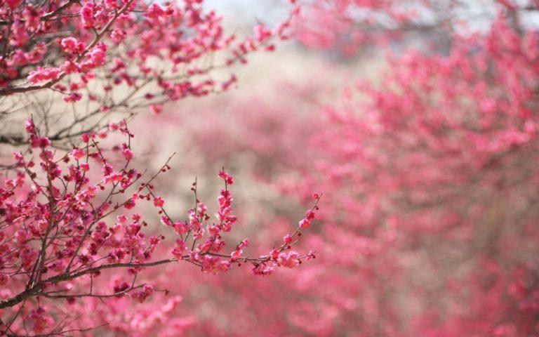 Cherry Blossom Tree Wallpaper 05 2560x1600 768x480
