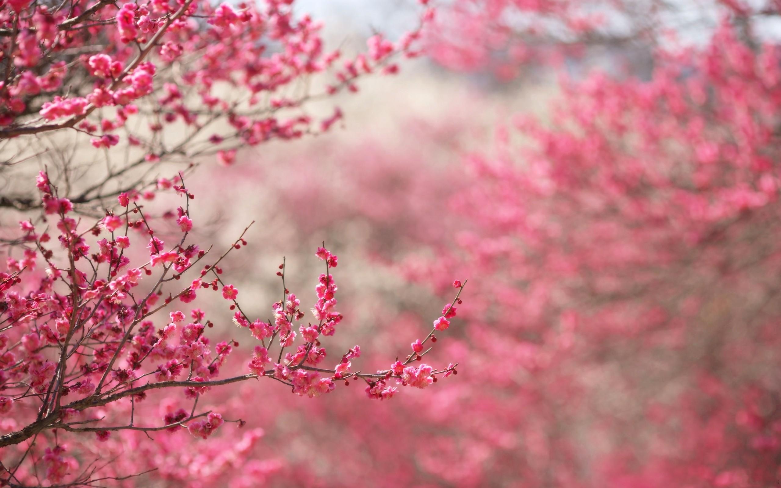 Розовое цветение загрузить