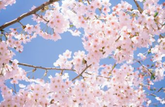 Cherry Blossom Tree Wallpaper 06 2560x1600 340x220