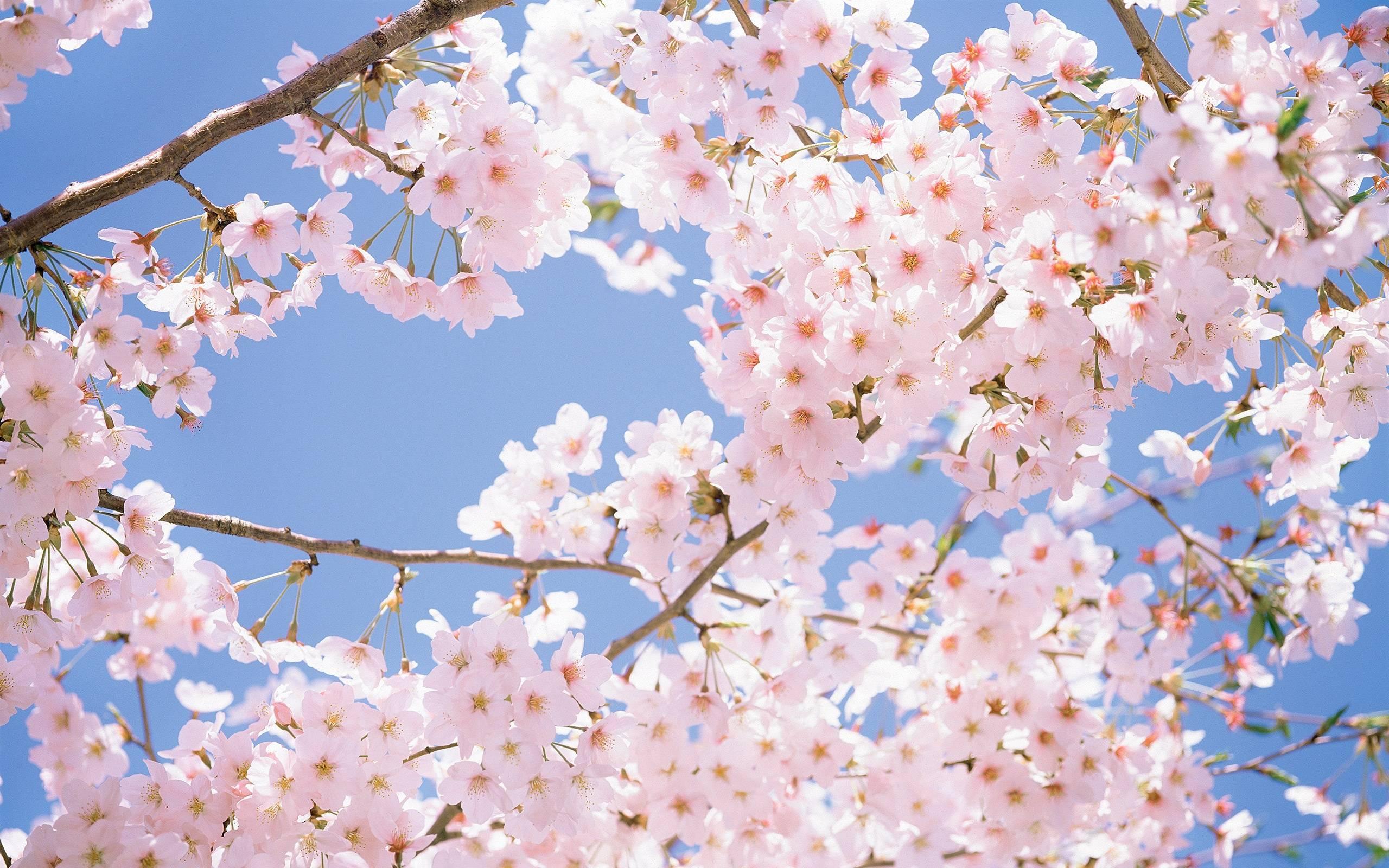 Cherry Blossom Tree Wallpaper 06 2560x1600