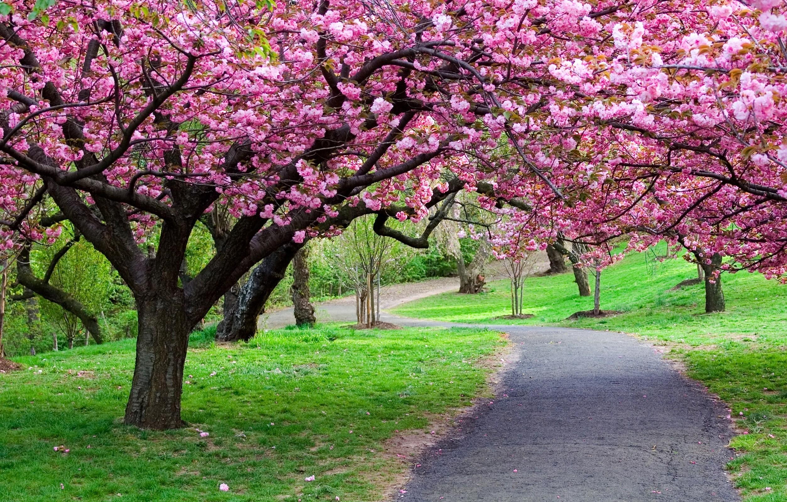 Cherry Blossom Tree Wallpaper 07 - [2507x1600]