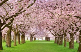 Cherry Blossom Tree Wallpaper 09 1920x1200 340x220