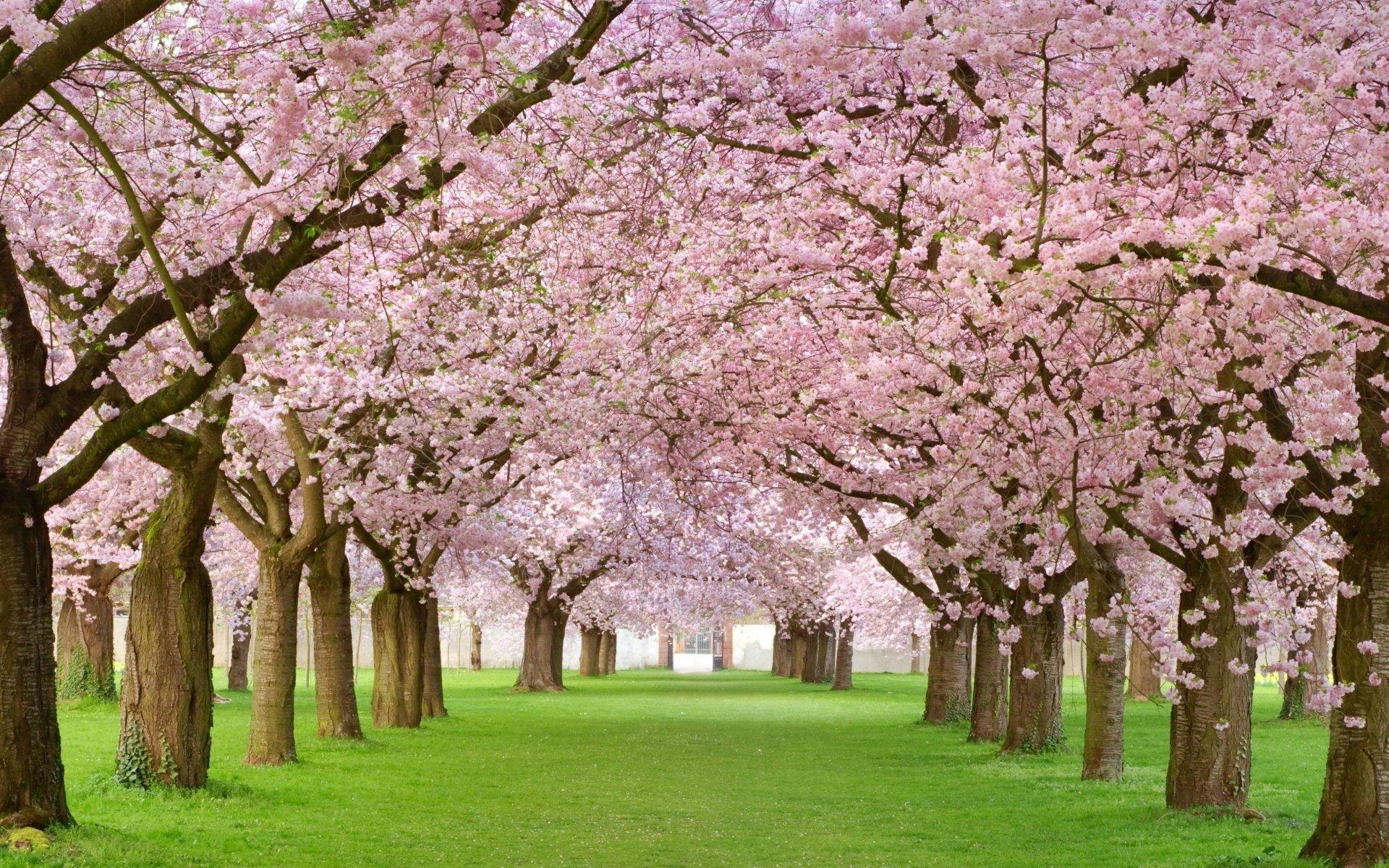 Cherry Blossom Tree Wallpaper 09