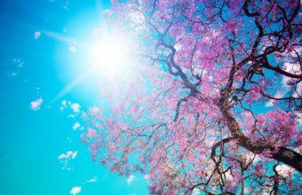 Cherry Blossom Tree Wallpaper 10 2560x1600 340x220