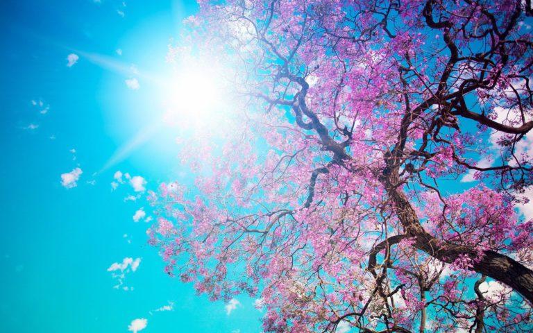 Cherry Blossom Tree Wallpaper 10 2560x1600 768x480