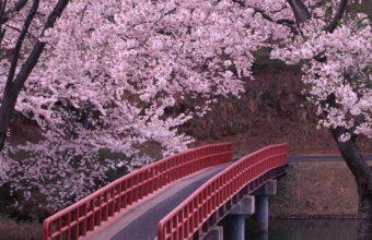 Cherry Blossom Tree Wallpaper 11 2560x1600 340x220