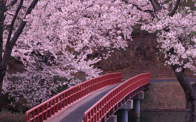 Cherry Blossom Tree Wallpaper 11 2560x1600 768x480